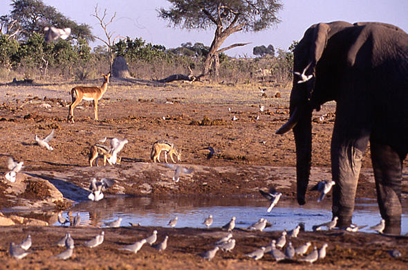 Animals and Birds at a waterhole. Moremi. Jeremy Jowell