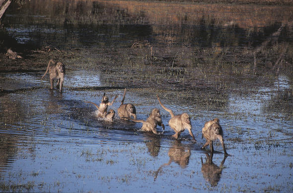 Baboons make a water crossig. Lee Kemp
