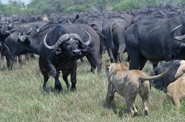 Buffalo and some lioness face off in Linyanti