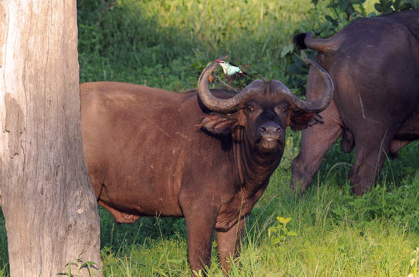 Buffalo in Chobe National Park. Garham Cooke