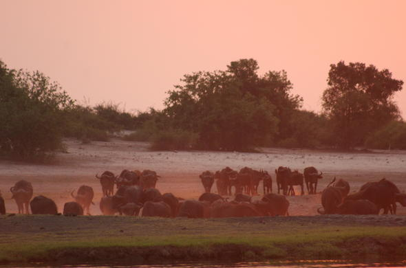 Buffalo head for the river in a Dusty Savuti sunset. Lee Kemp