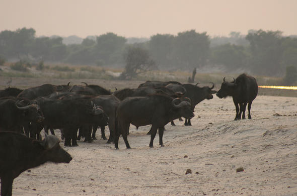 Buffalo head toward Chobe River.