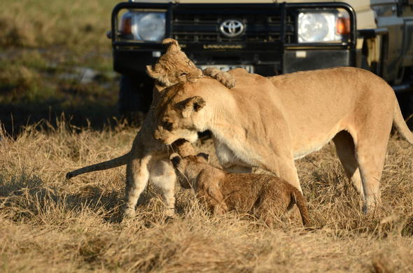 Playful Savute lioness and her cubs.