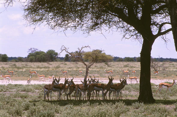 Impala gather in the shade of lone tree. Lee Kemp