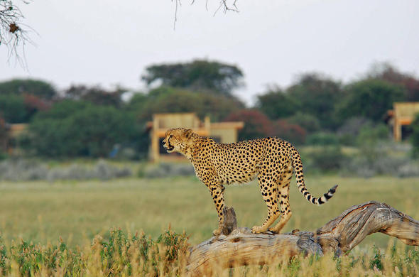 Cheetah at Kalahari Plains Camp