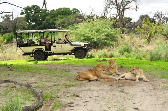 Lions spotted during a morning game drive in the Moremi Game Reserve.