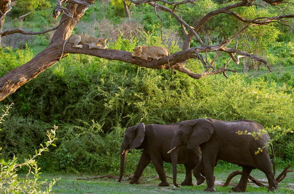 Lions watching elephants pass by from tree.
