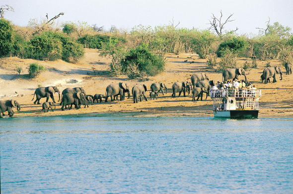 Elephants along the Chobe River.