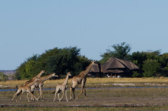Giraffes close the lodge.