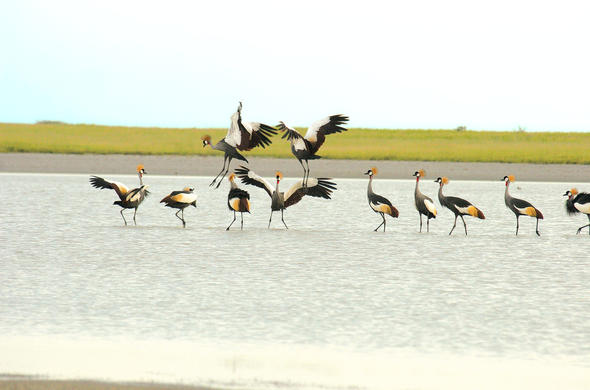 Cranes gather near Nata Lodge on the Makgadikgadi