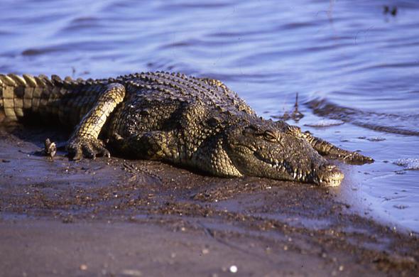 httpwwwitraveltocomimagescrocodile-at-waters-edge-jeremy-jowell-590x390jpg