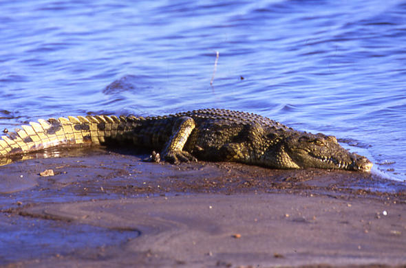 Crocodile basking on the banks of Chobe River. Jeremy Jowell
