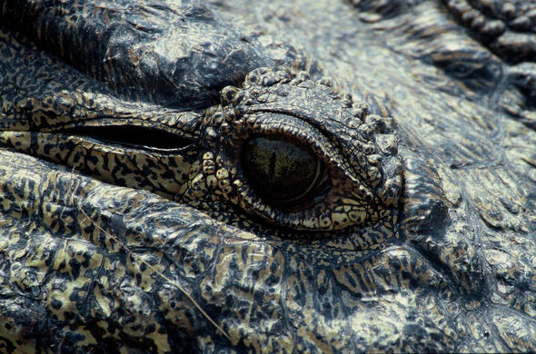 crocodile eye. jeremy Jowell