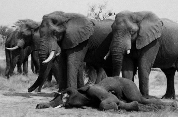 An elephant herd stand watch over one of their dead
