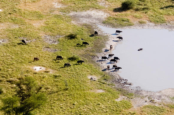 Buffalo from the air. Simon Bloomhill