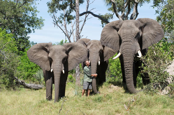 Elephants - left to right, Tembi, Marula and Jabu at Stanley's camp. Okavango