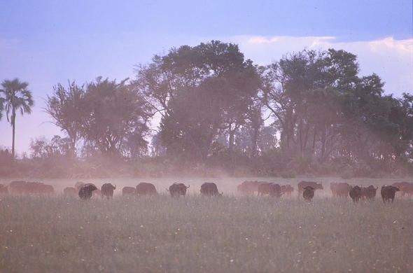 Dusty dawn and buffalo at Chobe River