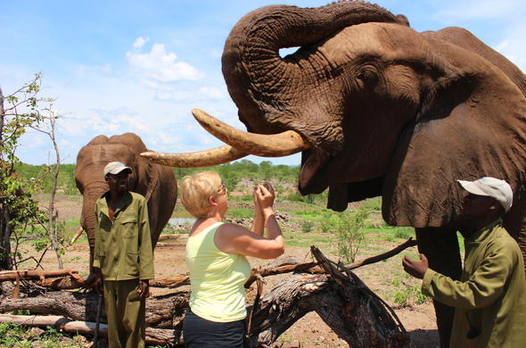 Feeding an elephant during and elephant interaction in Victoria Falls.