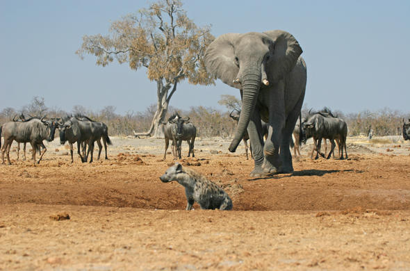 Elephant about to chase off hyena
