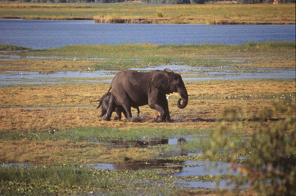 Elephant mother and calf on the Chobe flood-plains. Leigh Kemp
