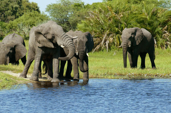 Elephants on the Edge of the Okavango. Michael Poliza