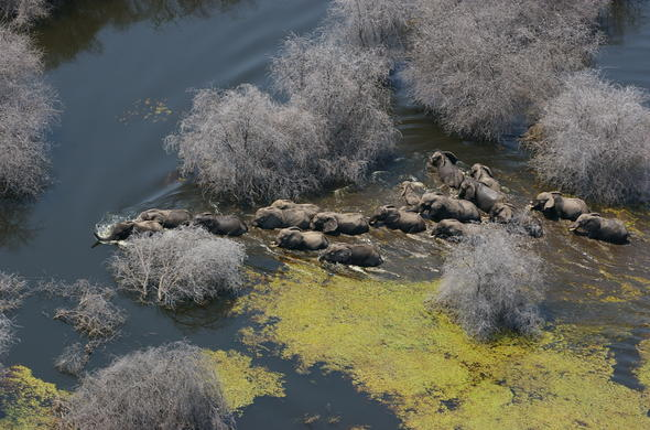 Elephants crossing a lagoon in Moremi