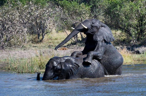 Elephants frolicking in the River near Banoka Bush Camp. Olavango