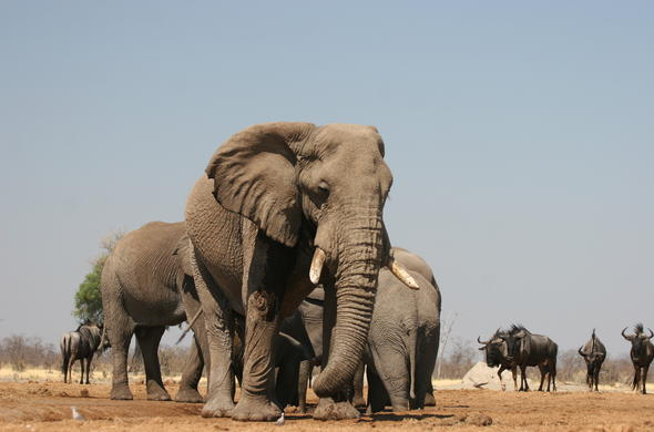 Elephants in a hot dry Linyanti summer