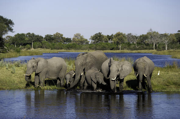 Elephants watering at Linyanti River. Duma Tau Camp