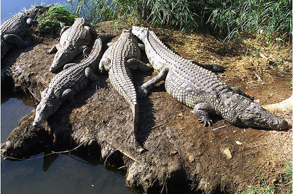 Crocodiles sun themselves on the Chobe's banks