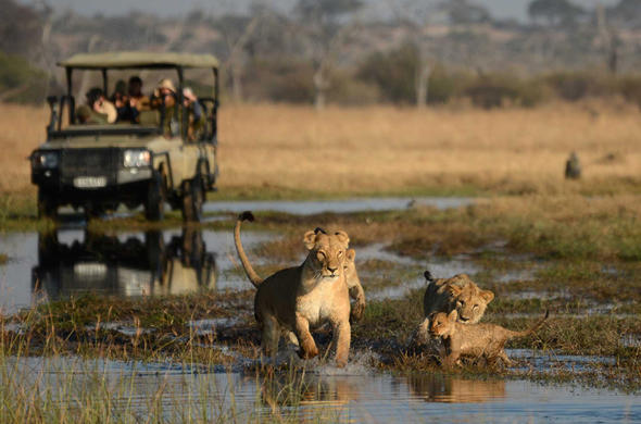 Game drive lion encounter near Camp Savuti