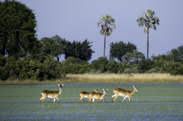 A group of antelope crossing the wetland near Jacana Camp