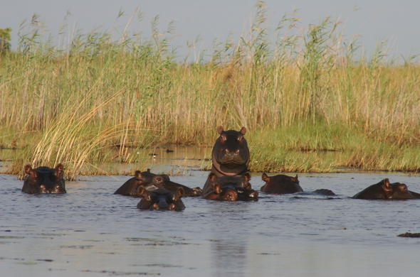 Hippo  Pod . Okavango  High  Waters.  Siyabona