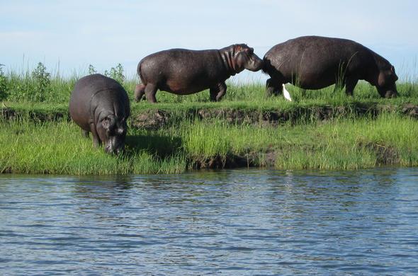 Hippos live on land