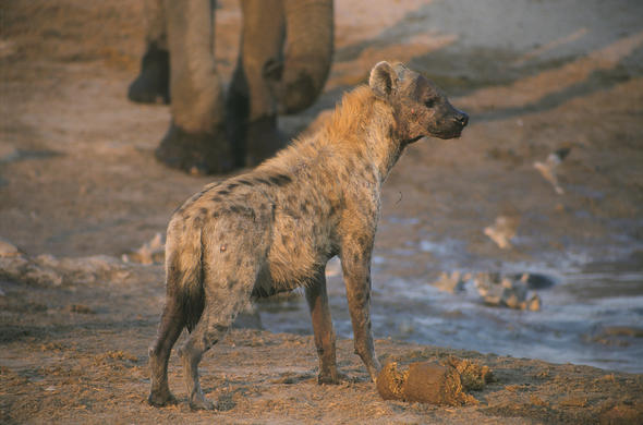 Hyena at drying waterhole. L Kemp