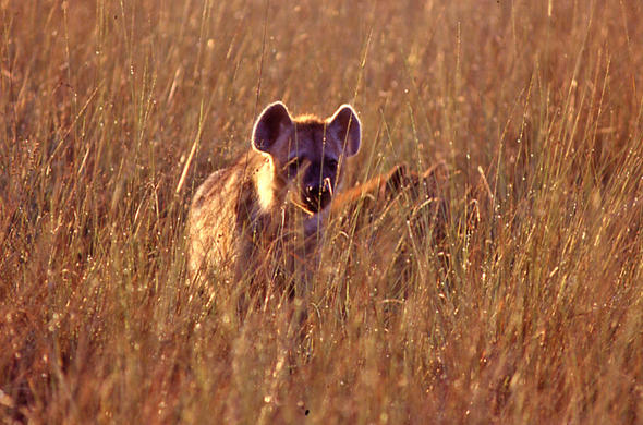Lurking Hyena. Lee Kemp