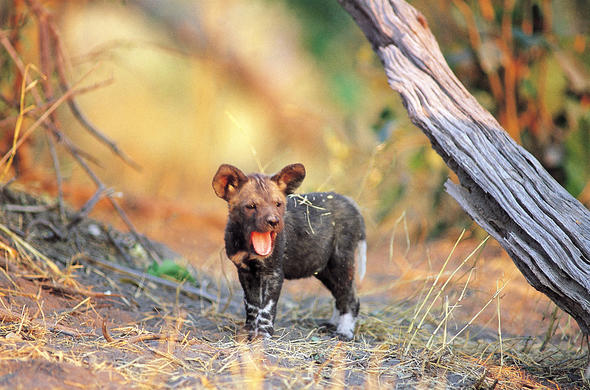 Hyena cub. Mark Tennant