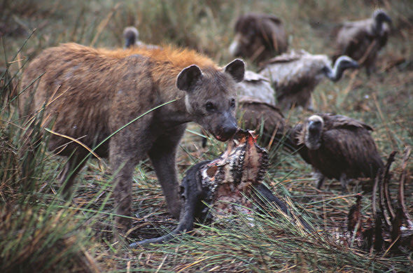 Hyena ans Vultures squabble over a buffalo carcass