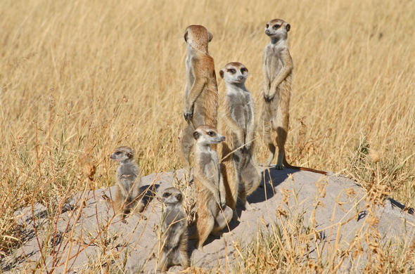 A troop of Meercats at Jacks Camp