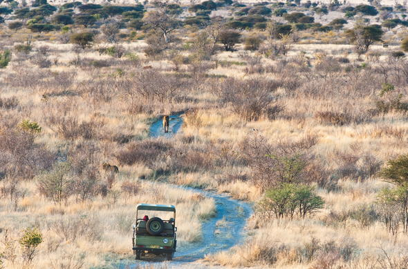Tracking a lion during a game drive through the Central Kalahari.