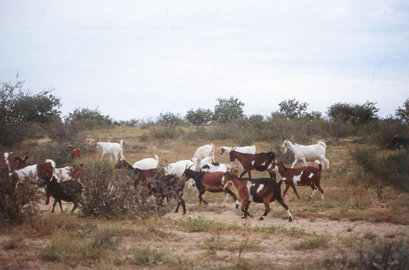 Domestic goats in the Kalahari. Leigh Kemp