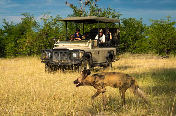 Wild dog spotted during a game drive in Linyanti.