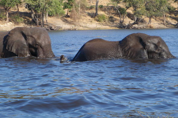 See Elephant crossing the Chobe River.