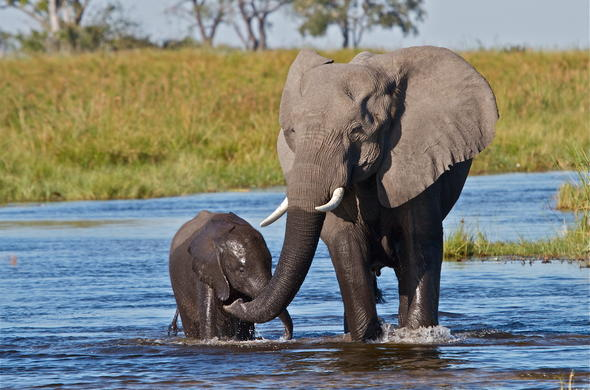 African elephant and calf.