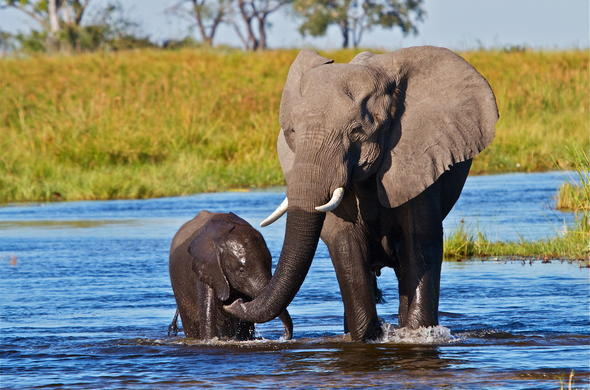 Elephant mother and calf playing in the Okavango waterways.