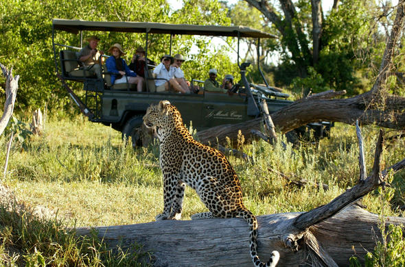 Leopard encountre at Mombo Camp. Michael Poliza