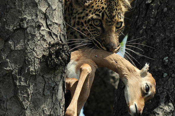Leopard with kill. Graham Cooke
