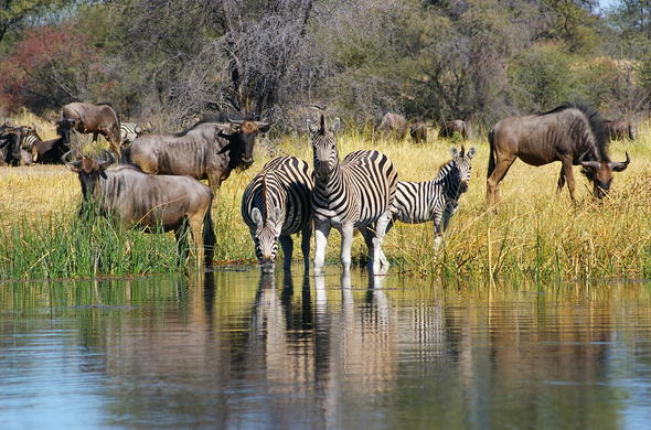 Zebra and wildebeest migration in the Makgadikgadi Pans.
