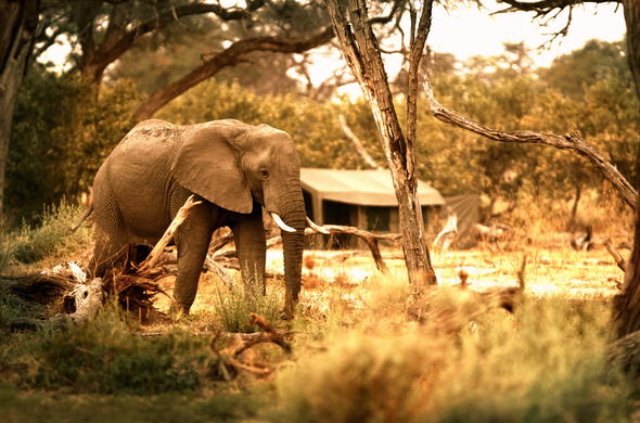 Elephant outside your mobile tented camp.
