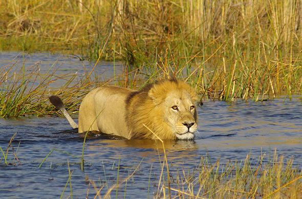 Lion crossing a lagoon. Moremi